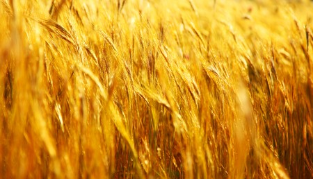 Wheat field landscape closeup image with selective focus Stock Photo - 7585600