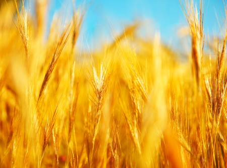 Wheat field landscape closeup image with selective focus Stock Photo - 7585596