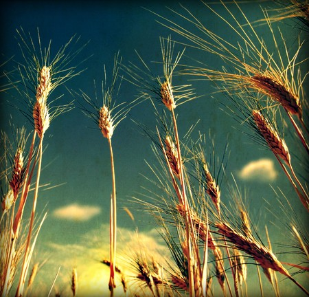 Grunge Wheat field background with dirty old texture Stock Photo - 7585597