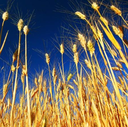 Wheat field landscape closeup on rye over blue sky photo