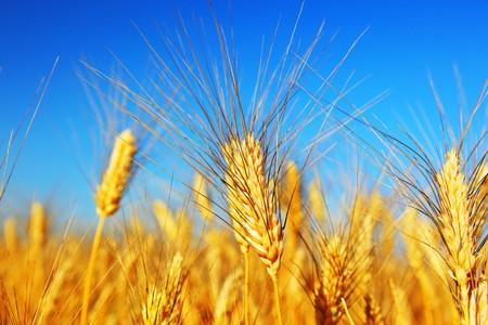 Wheat field landscape closeup on rye over blue sky Stock Photo - 7585603