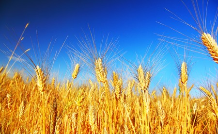 Wheat field landscape closeup on rye over blue sky Stock Photo - 7585606