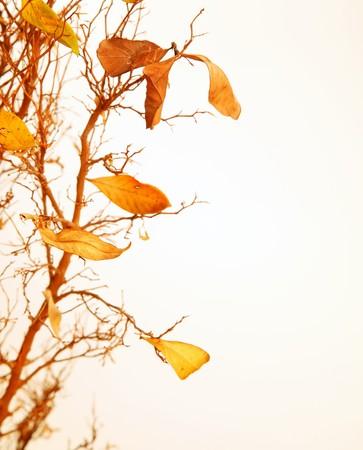 hojas secas: Rama de un �rbol oto�al con hojas secas  Foto de archivo