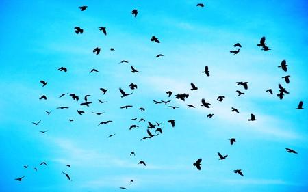 birds in flight: Flock of crows high up in blue sky