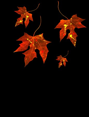 Autumnal red leaves falling down isolated on black with copy space photo