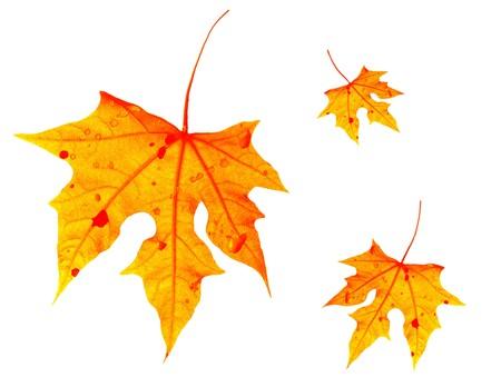 Autumnal orange leaves falling down, isolated on white photo