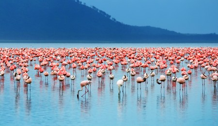 African safari, flamingos in the lake Nakuru, Kenya Stock Photo - 7948417