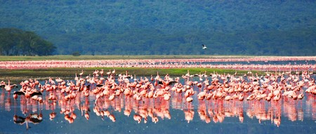 panoramic African safari, flamingos in the lake Nakuru, Kenya photo