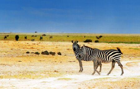 African safari, wild zebras family and landscape of Amboseli National Park, Kenya photo