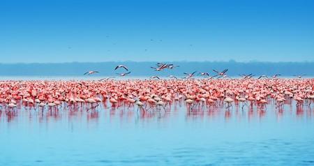 アフリカのサファリ、ケニアのナクル湖のフラミンゴ