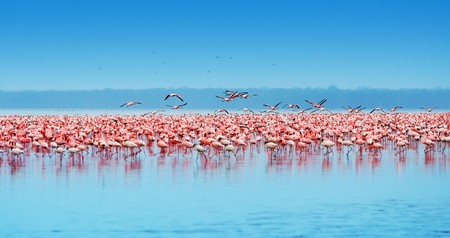 African safari, flamingos in the lake Nakuru, Kenya photo