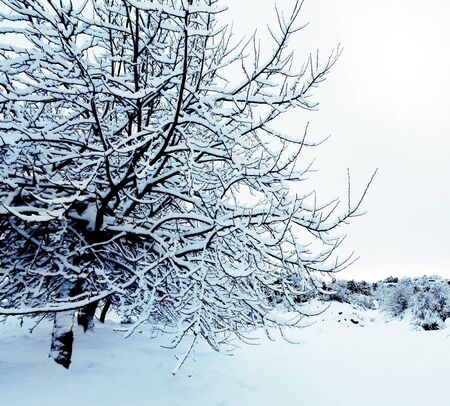 Beautiful winter forest background with trees covered with snow, nature of countryside at wintertime  photo