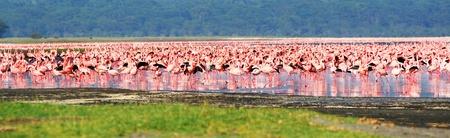 nakuru: African safari, flamingos in the lake Nakuru, Kenya