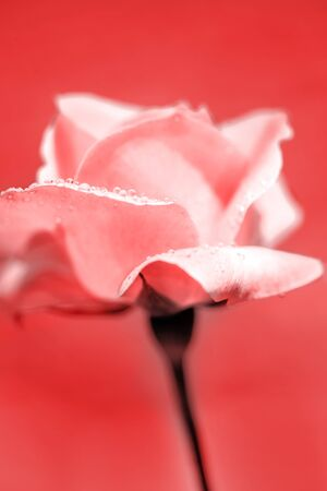 Beautiful fresh pink rose with morning dew Stock Photo - 8638544