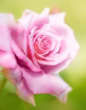 Beautiful fresh pink rose with morning dew, closeup on garder flower