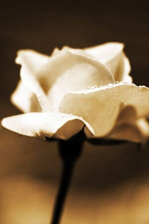 Grungy rose in the garden sepia toned Stock Photo - 8668594