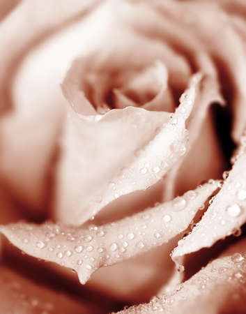 Closeup on beautiful fresh pink rose with morning dew Stock Photo - 8668595