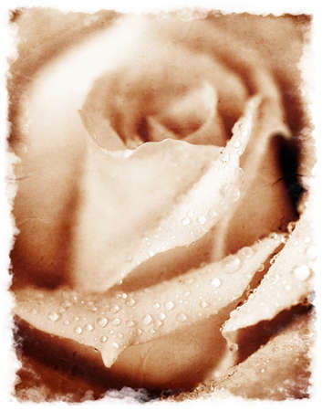 Closeup on beautiful grunge rose with dew drops Stock Photo - 8668619