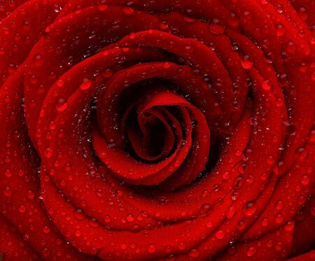 Red wet rose background with dew drops Stock Photo - 8749938