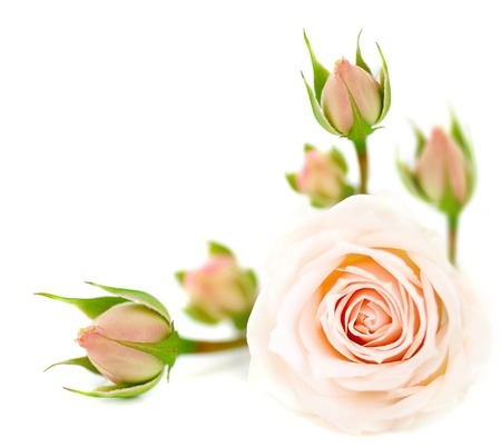 Fresh pink roses border isolated on white background photo