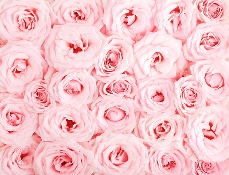 Pink fresh roses background  photo