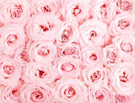 love rose: Pink fresh roses background