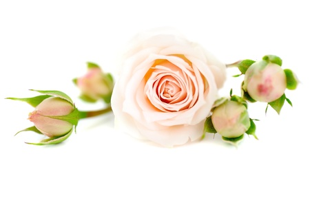 Fresh pink roses border isolated on white background Stock Photo - 8749951