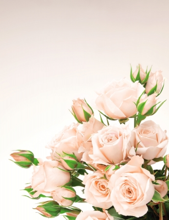 rose isolated: Fresh pink roses border, beautiful isolated flowers Stock Photo