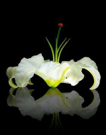 Fresh white lily flower head isolated on black background with reflection Stock Photo - 8876007