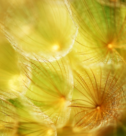 Soft dandelion flower, extreme closeup, abstract spring nature background photo