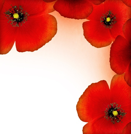 Fresh red poppy border isolated on white background with text space photo
