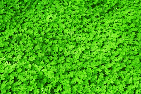 lucky clover: Green fresh clover field background, St.Patricks day holiday symbol seamless green grass pattern