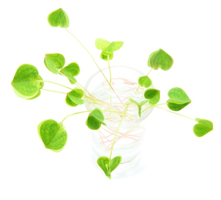 Green fresh clover in the vase, st.Patricks holiday day decoration isolated on white background with text space photo