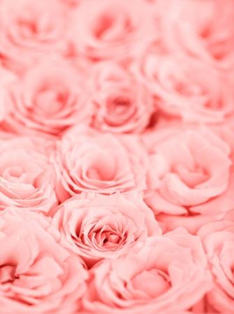 Fondo de rosas frescas con enfoque selectivo