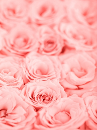 Pink fresh roses background with selective focus photo