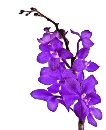 Purple fresh orchid flower isolated on white background photo