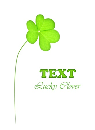 Green fresh clover, st.Patricks day decoration isolated on white background with text space photo