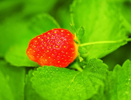 Red fresh strawberry in the forest, healthy organic fruits photo