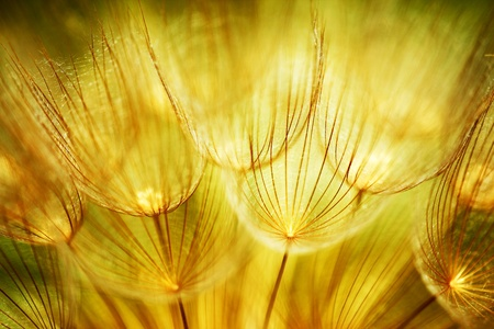 Soft dandelions flower, extreme closeup, abstract spring nature background  photo