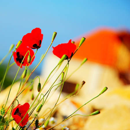 Red poppy flowers meadow over blue clear sky background photo