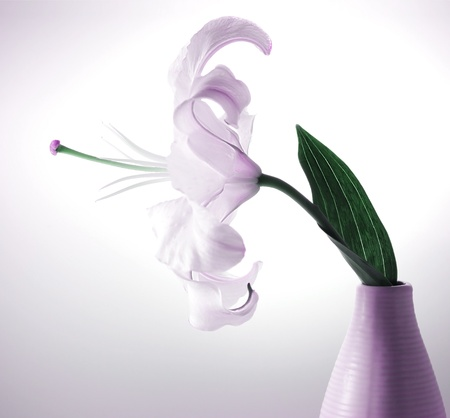 Beautiful violet lily flower in the vase with back light, studio isolated photo