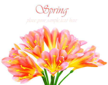 Fresh spring crocus flowers isolated on white background  photo