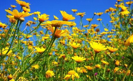 Spring field of yellow fresh daisies over blue sky Stock Photo - 9116728