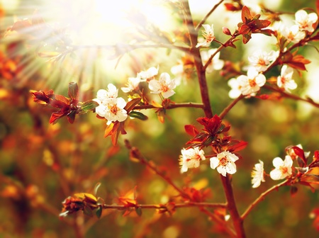 Almond tree blossom at spring over green natural background with sun light photo