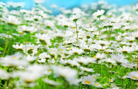 Spring field of white fresh daisies over blue sky, natural landscape Stock Photo - 9117693