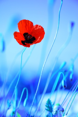 Red poppy flowers meadow over blue background, wildflower field photo