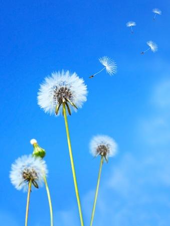 viento soplando: Campo de flor diente de Le�n en el cielo azul
