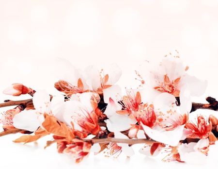 Almond tree blossom flower over pink bokeh background, spring nature photo