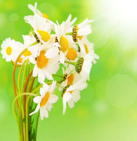 Fresh daisy flowers bouquet isolated over green bokeh background at sunny spring day photo