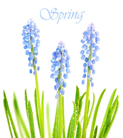 Fresh spring blue tiny muscary flowers with grass & morning dew isolated on white background